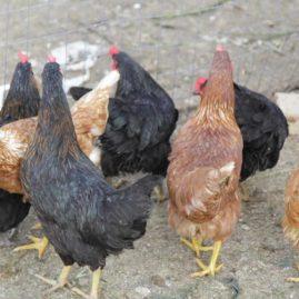 galline primo piano