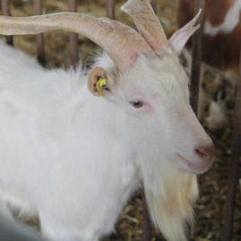 capra laterale